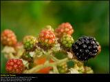 Blackberries (Brombær / Rubus armeniacus)