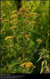 Tansy (Rejnfan / Tanacetum vulgare)