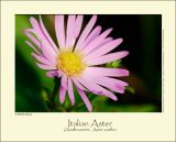 Italian Aster (Amellusasters / Aster amellus)