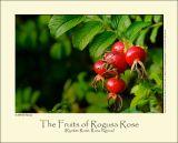Rogusa Rose (Rynket Rose / Rosa rogusa)