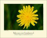 Mouse-ear-hawkweed (Håret Høgeurt / Polisella officinarum)