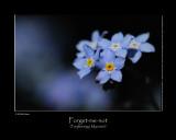 Forget-me-not (Forglemmigej / Myosotis)