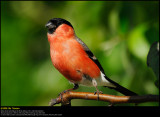 Bullfinch (Dompap, Pyrrhula Pyrrhula)
