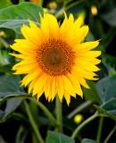 Sacramento Valley Sunflowers  2010