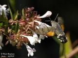 HUMMINGBIRD HAWK-MOTH - MACROGLOSSUM STELLATARUM - MORO-SPHINX