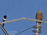 BLACK-BILLED MAGPIE and RED KITE