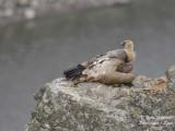GRIFFON VULTURE resting