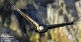 GRIFFON VULTURE in flight