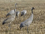 COMMON CRANES adult and young