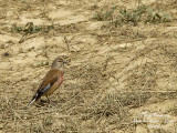 COMMON LINNET - CARDUELIS CANNABINA - LINOTTE MELODIEUSE