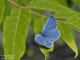 HOLLY BLUE - CELASTRINA ARGIOLUS - AZURE DES NERPRUNS