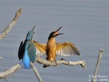 Common Kingfisher confrontation