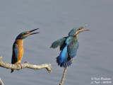 Common Kingfisher pair