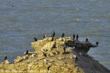 Rock - Gulls - Cormorants