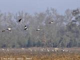 Common Cranes - flock