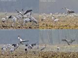 Common Cranes mating dance