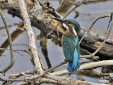 COMMON-KINGFISHER-male
