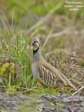 RED-LEGGED-PARTRIDGE - ALECTORIS RUFA - PERDRIX ROUGE