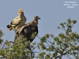 Egyptian and Griffon Vultures in Navarra and Aragon - Spain - May 2006