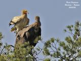 Egyptian and Griffon Vultures