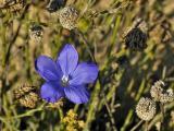 Blue Flower - Fleur Bleue