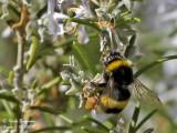 BUFF-TAILED BUMBLE BEE - BOMBUS TERRESTRIS - BOURDON TERRESTRE