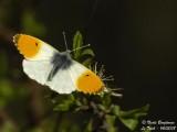 ORANGE TIP - ANTHOCHARIS CARDAMINES - AURORE