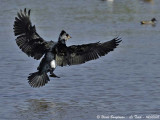 GREAT CORMORANT landing