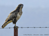 COMMON BUZZARD - BUTEO BUTEO - BUSE VARIABLE