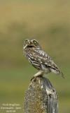 LITTLE OWL - ATHENE NOCTUA - CHEVECHE D'ATHENA