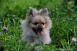 Bert Large Pomeranian