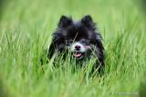 Adult Pomeranian Jenny  $200