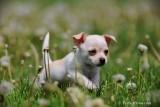 Chihuahua - Marilyn