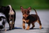 Chihuahua - Chocobama