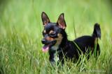 Chihuahua  Blake