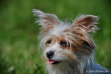 Tri-Color Yorkshire Terrier