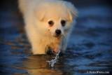 Snowball White Pomeranian male Puppy