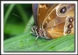 _MG_3115b   -  MORPHO PELEIDES  /  Costa Rica