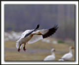 OIE DES NEIGES  /   SNOW GOOSE    _MG_1084a