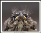 BRUANT CHANTEUR , jeune  / SONG SPARROW, immature    _MG_6108a