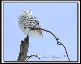 _MG_4051a -  HARFANG DES NEIGES  -  SNOWY OWL