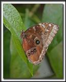 _MG_9894c    -  MORPHO PELEIDES  /  Costa Rica