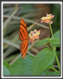 _MG_9898c    -    DRYADULA PHAETUSA  /  Costa Rica