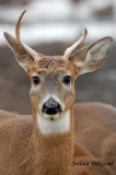Young Whitatail Buck