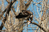 Eagle eating Fish