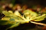 20081101 - Leaf