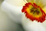 20090411 - Narcissus