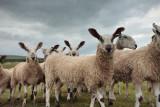 20100710 - Nosey Sheeps