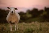20120911 - Sheepy Safari