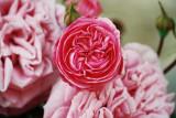 Vielblättrige Rose